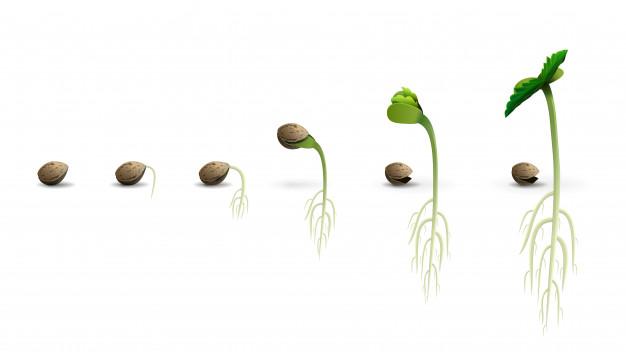 fasi di sviluppo dei semi di cannabis
